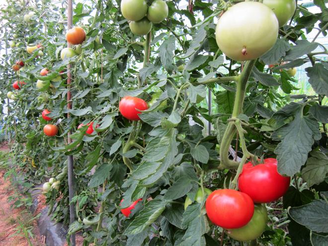 トマトのこと